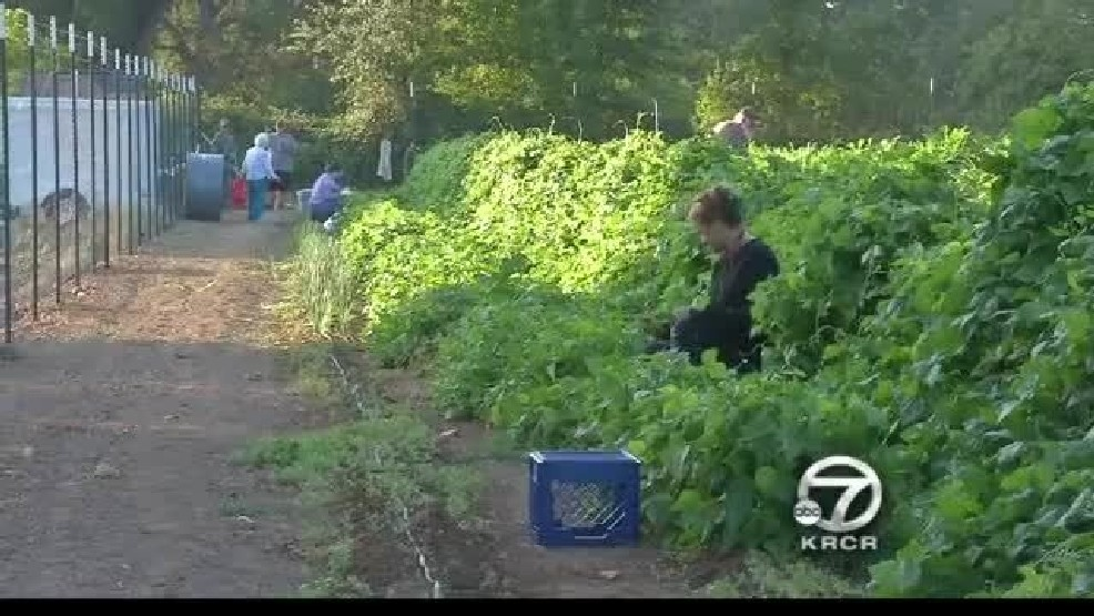 Anderson Community Garden Pumping Out Produce Krcr